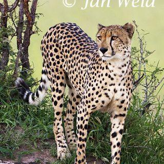 Cheeta 1150