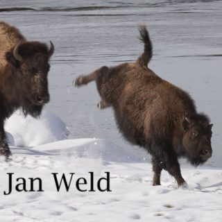 kick-bison-1127